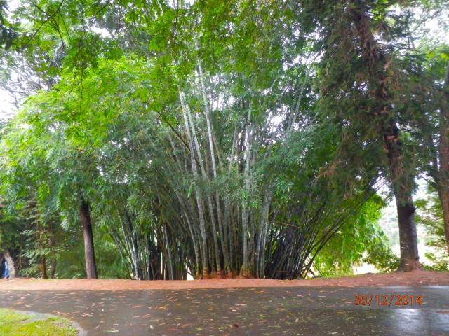 スリランカの竹