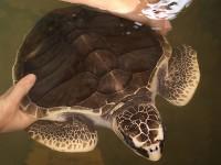 Kadgoda turtle hachery